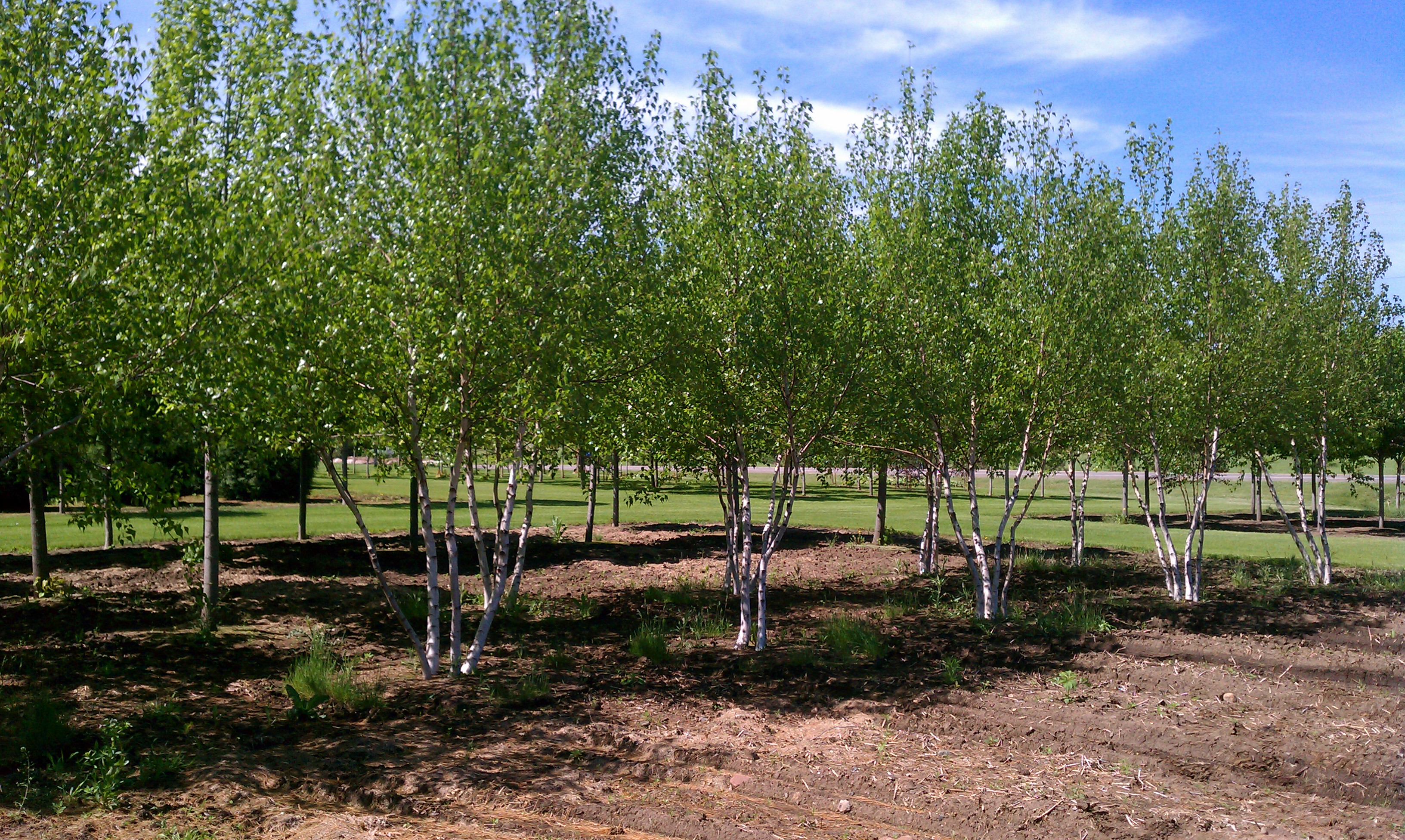 Minnesota Tree Sales Large Trees Amp Transplant Moving