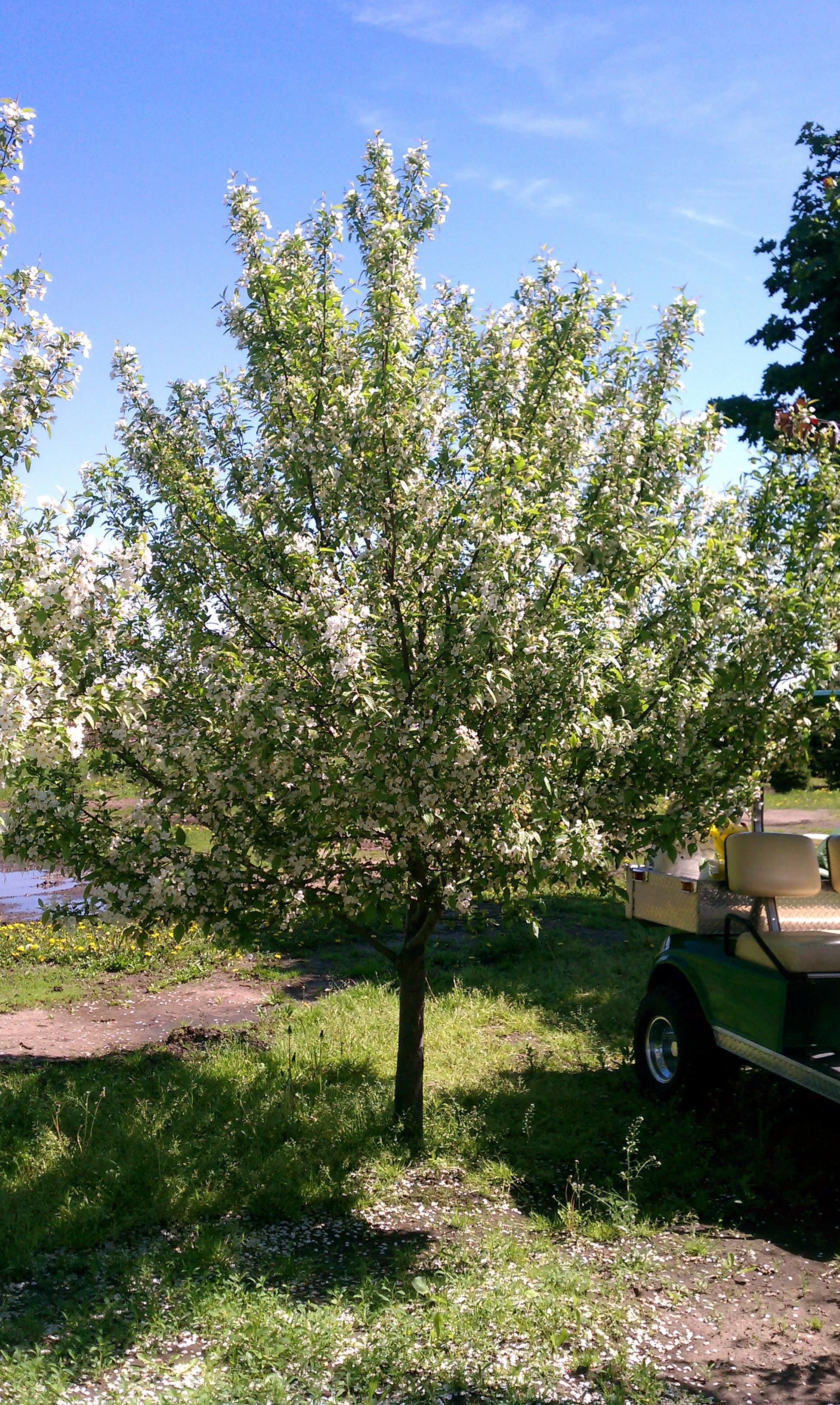 Minnesota Tree Sales Large Trees Transplantmoving
